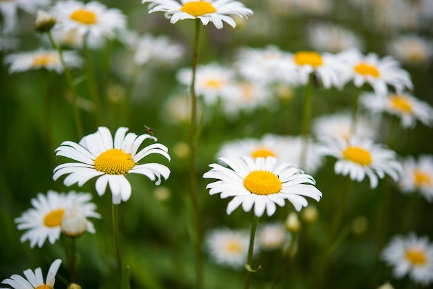 Beautiful garden chamomile flowers on a blurred green grass background, selective focus
