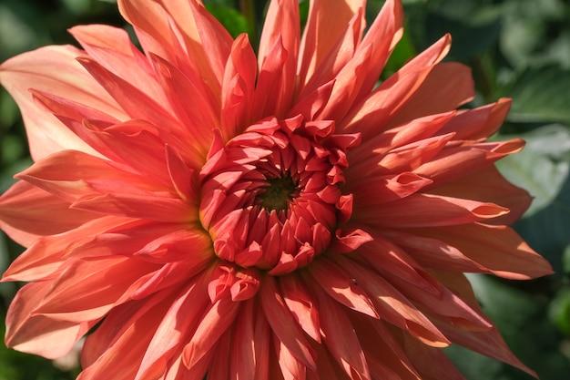 Красивый садовый цветок георгина крупным планом в солнечный осенний день макросъемка