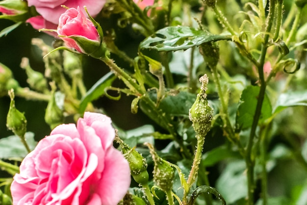 Beautiful garden decorative rose, attacked by a pest. aphid parasite destroys a flower. gardening. summer. homework