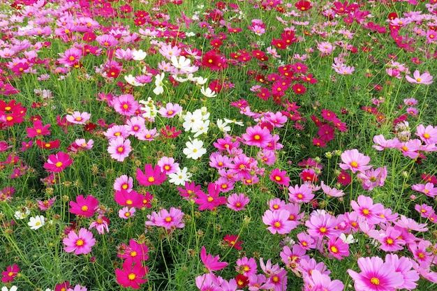The beautiful garden of pink and white cosmos flowers in full bloom