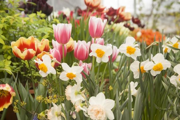 Красивый сад с яркими тюльпанами и цветами нарциссов