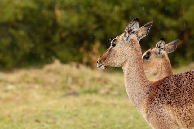 Belle gazzelle in piedi in un campo erboso
