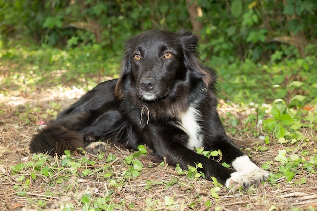 Beautiful gentle border collie lying down the grass outside