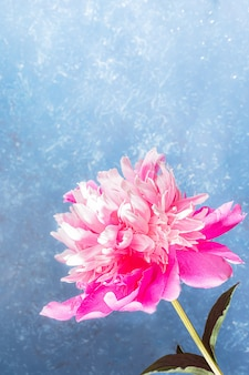 Beautiful gentle pink peony close up on light blue textured backdrop. festive layout for greeting card or invitation for mother's day or women holidays. copy space. vertical orientation.