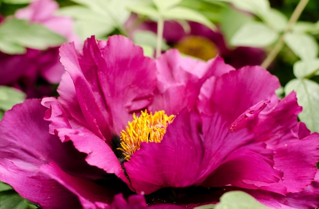 Beautiful gentle pink peony flower growing in the summer garden.
