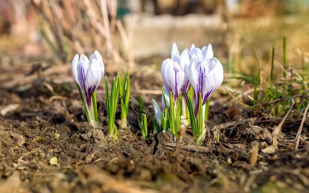 정원에서 자라는 흰색 피는 봄 꽃 크로커스와 함께 아름다운 부드럽게 보라색.