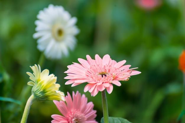 Beautiful gerbera flower blooming in garden.flower wedding decoration