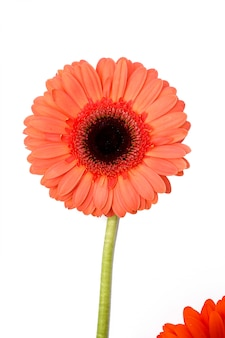 Beautiful gerbera on white