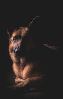 Beautiful german shepherd dog lying down with black surface
