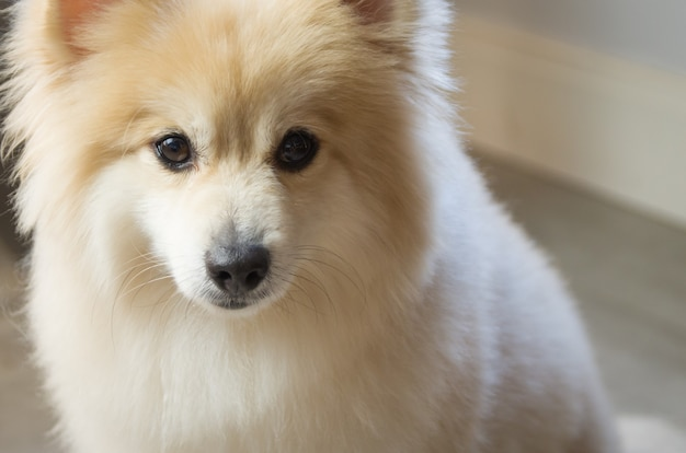 밝은 노란색의 아름다운 독일 스피츠 개