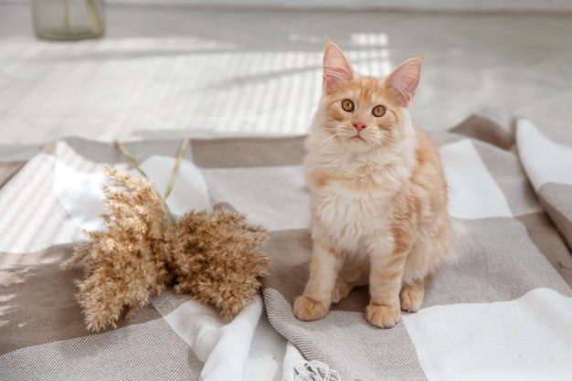 Beautiful ginger cat sitting on the floor . red cat maine coon
