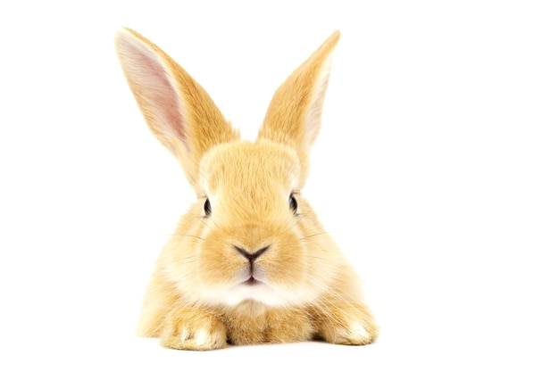 Beautiful ginger rabbit on a white background.