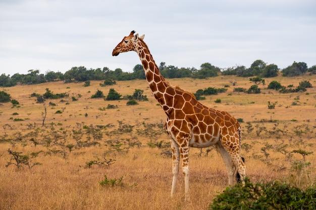 Красивый жираф посреди джунглей в кении, найроби, самбуру