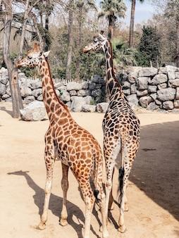 Красивые жирафы в большом вольере в зоопарке. фотография жирафов.