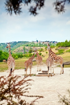 Beautiful giraffes in a natural zoo