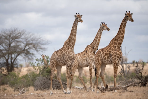 Красивые жирафы, идущие по полю кустарников