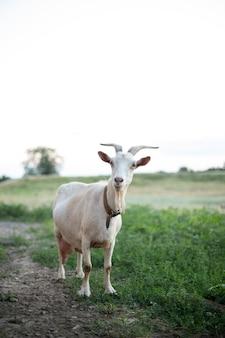 美しいヤギが野原に立っています