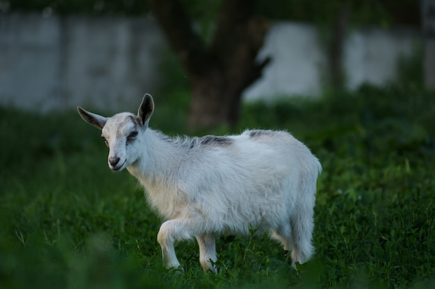 Beautiful goat posing. baby goat walking on the meadow. goat kid eating green grass