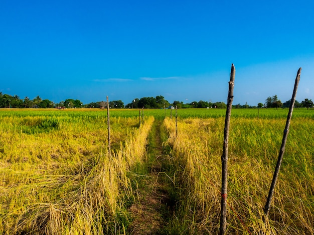 Beautiful golden and green rice fields