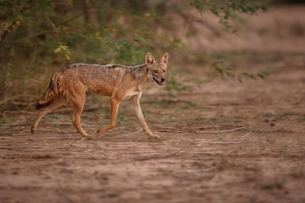 Beautiful golden jackal in nice soft light in pench tiger reserve in india