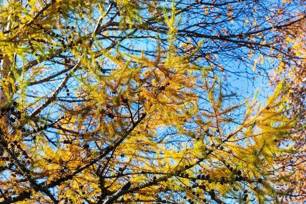 山の美しい黄金のカラマツ、秋の季節。
