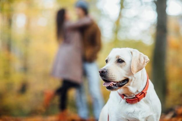 スタンドカップルの後ろに、秋の森でポーズをとる美しいゴールデンレトリバー