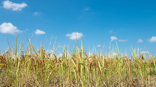 Beautiful golden yellow rice fields on a bright blue sky.