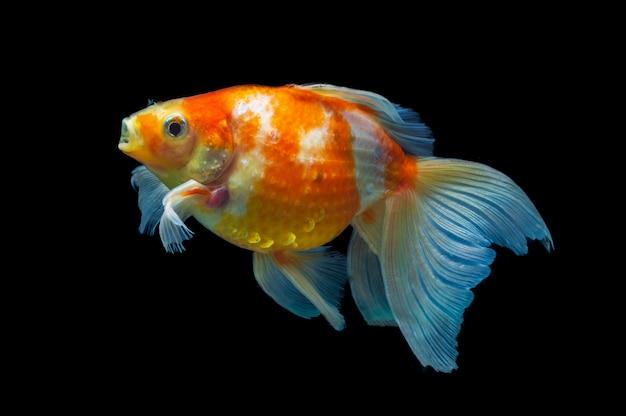 Beautiful goldfish are swimming freshwater fish,