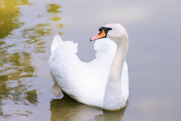 Красивый великолепный лебедь на озере