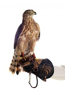 Beautiful goshawk bird