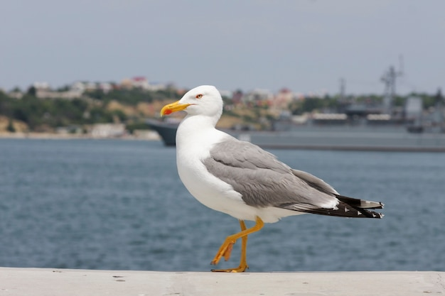 Красивая, изящная чайка шагает по берегу моря по бетонному парапету.