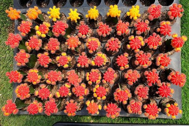 냄비에 아름다운 접목된 gymnocalycium 품종 선인장 식물