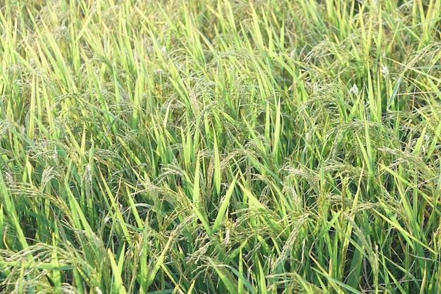 Красивые зерна риса на полях