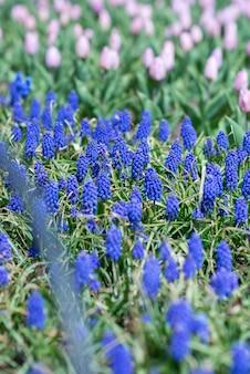 畑に生えている美しいムスカリの花と紫のチューリップ