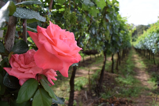 Beautiful grape plantation with roses