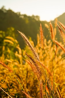 Beautiful grass flower (poaceae) with sunrise blurry background in summer