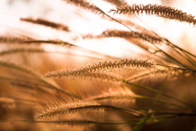 Beautiful of grass flower with sunset for nature background, soft and blurred focus