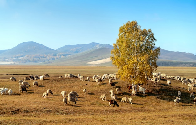 Beautiful grassland and flock