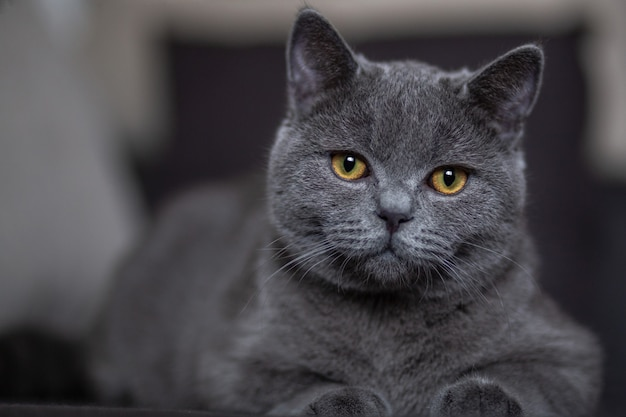 Beautiful gray british cat lies on sofa in the house close-up