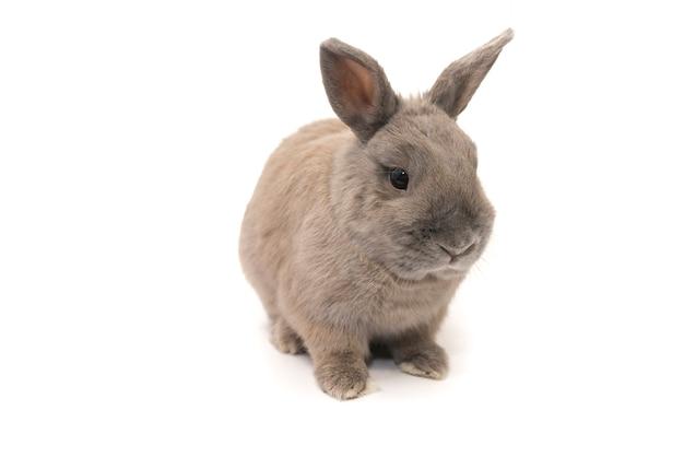 Красивый серый кролик сидит на белом фоне