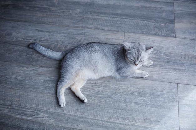 A beautiful gray fluffy cat lies on a laminate. the concept of pets.