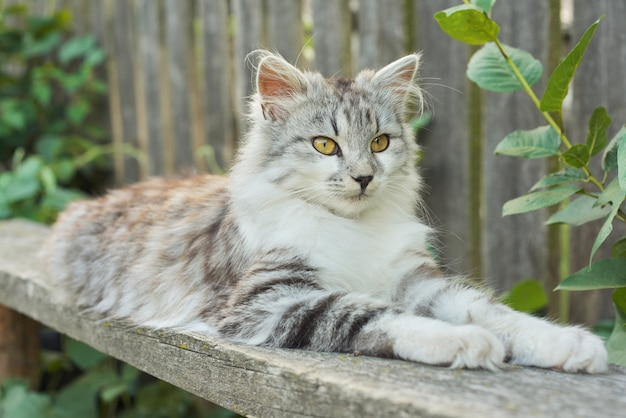 Beautiful gray fluffy cat lying on the bench outdoor