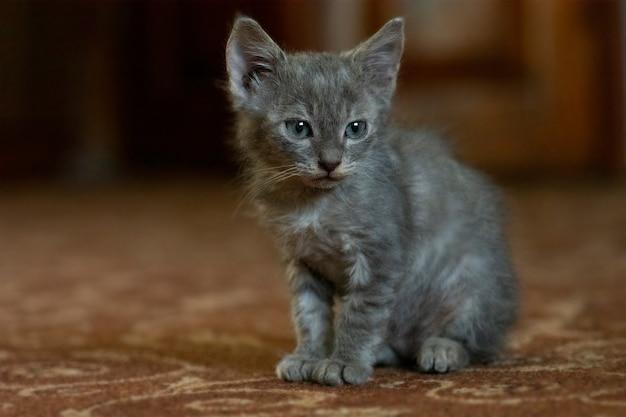 美しい灰色の面白い子猫。家庭でのペットの概念。家で休んでいる興味のある猫。灰色のふわふわ猫。家で愛らしい猫。