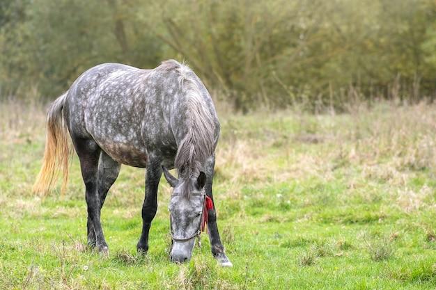 Красивая серая лошадь, пасущаяся в зеленом поле лета лугопастбищных угодий.