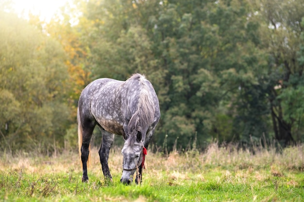 Красивая серая лошадь, пасущаяся в летнем поле. зеленое пастбище с жеребцом фермы кормления.