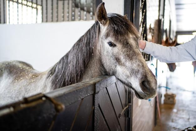 厩舎の屋台で美しい灰色の馬