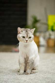 Beautiful gray scottish fold cat. haircut cat with shaved hair on the body, pet haircut