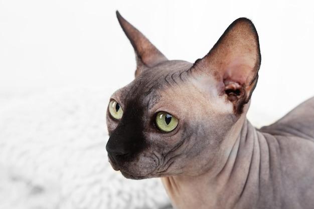방에 카펫에 아름 다운 회색 스핑크스 고양이