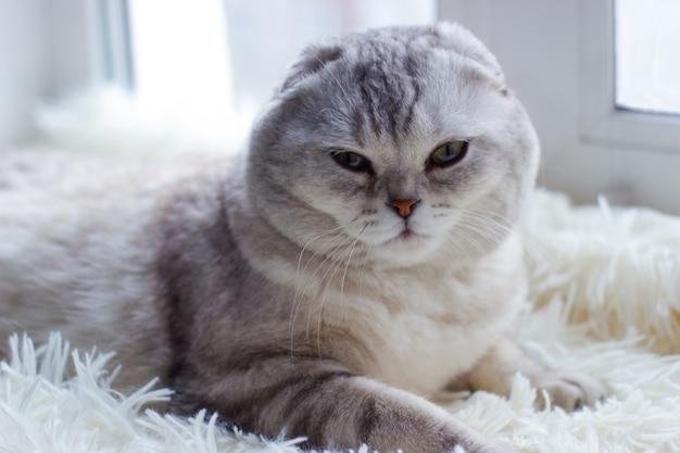 Красивый серый породистый кот лежит на пледе у окна, глядя в камеру