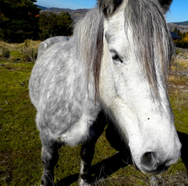 Beautiful gray and white horse standing and close up
